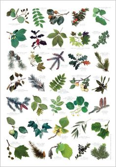 Tree leaf identifier