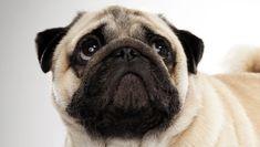 @AnimalPlanet :: Pug #dogs
