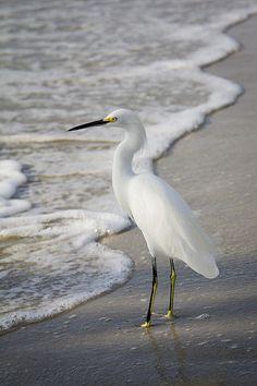 Egret, Florida