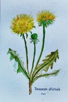 Taraxacum officinale #waterpainting Taraxacum Officinale, Plants, Diy, Medicinal Plants, Vegetable Gardening, Bricolage, Do It Yourself, Plant, Homemade