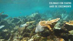 Proceso de Restauración de Arrecifes, Puerto Morelos. 2017