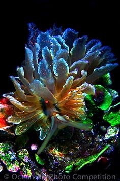 Cyerce Sea Slug (Cyerce is a genus of sacoglossan sea slugs a shell-less marine opisthobranch gastropod molluscs in the family Caliphyllidae). Underwater Creatures, Underwater Life, Ocean Creatures, Underwater Photos, Ocean Art, Ocean Life, Planet Ocean, Photos Sous-marines, Pictures