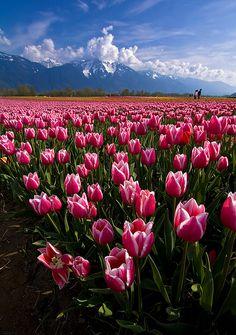 Tulip fields in Agassiz, British Columbia, Canada