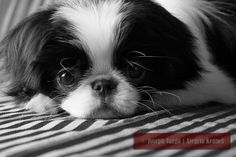 Japanese Chin or Japanese Spaniel Dog Dogs Puppy Puppies Pet Dogs, Dog Cat, Doggies, I Love Dogs, Puppy Love, Japanese Chin Puppies, Baby Animals, Cute Animals, Matou