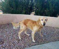 Golden Retriever dog for Adoption in Glendale , AZ. ADN-446484 on PuppyFinder.com Gender: Female. Age: Senior