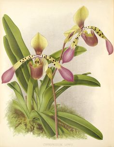 Paphiopedilum lowii  from The Orchid Album, comprising coloured figures and descriptions of new, rare and beautiful Orchidaceous plants, Vol.9, 1897, by B.S. Williams  illustration by John Nugent Finch