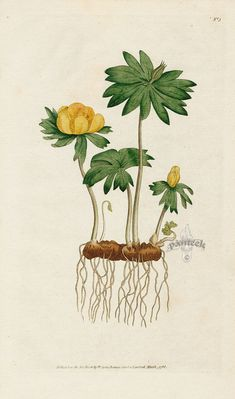Helleborus hyemalis. Winter Hellebore, or Aconite. from William Curtis Botanical Magazine 1st Edition Prints Vol 6 1787
