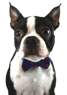 Ella Bing Dog Bow Ties are the perfect accessory for the most dapper of dogs. - Velcro attachment for easy on and off - Scotch Guarded for protection - Stiff Interfacing for added durability product i