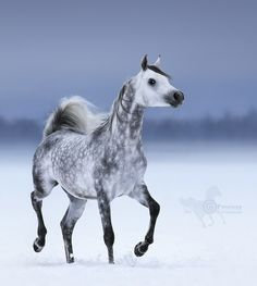 Arabian horse Maurice Begart - Incredible Arabian stallion Maurice Begart. He was born at Tersk stud.