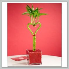 Lucky bamboo can grow indefinitely in a simple vase filled with pebbles and at least an inch of water. However, they are very sensitive to chlorine and other chemicals commonly found in tap water