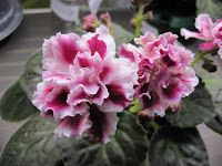 Russian African Violet SM-Moroznaya Vishnya (Frosty Cherry) standard with changeable burgundy and white flowers - mostly red in summer, more white in winter. Plant or leaves are available. Winter Plants, Winter Garden, House Plant Care, House Plants, Live Plants, Cool Plants, White Flowers, Beautiful Flowers, Herb Garden Kit