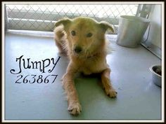 JUMPY-ID#A263867  TX.  I am a female, tan and white Border Collie blend  The shelter staff think I am about 1 year and 5 months old.  I am currently available for foster, rescue, or adoption.  To adopt me, call (210) 207-6666 or email acsadoptions@sanantonio.gov.  To foster me call (210) 207-6669 or email acsrescue-foster@sanantonio.gov.  If you are with a rescue group call (210) 207-8173 or email acsrescue-foster@sanantonio.gov. Ask for information on animal A263867