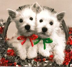 Christmas Westies.                                                                                                                                                                                 More