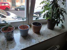So kannst Du mit wenig Aufwand Deine Schefflera Arboricola vermehren. Komplette Anleitung und Pflegetipps.