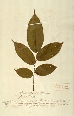 Google Afbeeldingen resultaat voor http://www.hermann-herbarium.nl/images/groot/Img6032.jpg