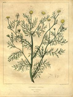 v. 1 - Vegetable materia medica of the United States, or, Medical botany : - Biodiversity Heritage Library