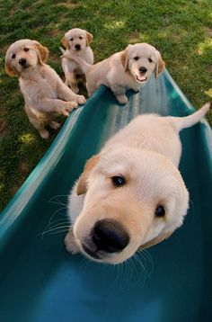 Puppies playing on a slide