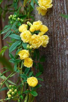English Roses Yellow climbing roses VIA Flowers and Nature - Yellow Climbing Rose, Climbing Roses, Exotic Flowers, Pretty Flowers, Beautiful Roses, Beautiful Gardens, Roses Only, Rose Cottage, Flower Pictures
