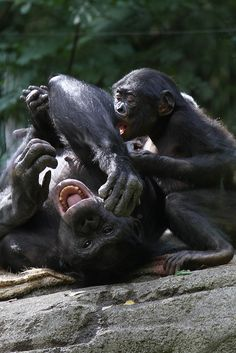 Bonobos by Mark Dumont Primates, Mammals, Baby Animals, Funny Animals, Cute Animals, Wild Animals, Jane Goodall, Beautiful Creatures, Animals Beautiful