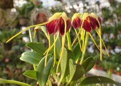 Masdevallia bicolor (long tails, xanthura type) Syn.: Alaticaulia bicolor; Masdevallia auropurpurea; Masdevallia atropurpurea; Masdevallia biflora; Masdevallia peruviana et al. February 8, 2015
