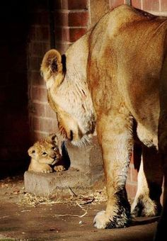 The baby lion cub! Does this remind anyone of lion king or just me lol Nature Animals, Animals And Pets, Wild Animals, Beautiful Cats, Animals Beautiful, Big Cats, Cats And Kittens, Cute Baby Animals, Funny Animals