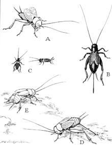 Cricket (insect) - Wikipedia, the free encyclopedia