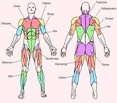 this male muscle diagram poster pinpoints every muscle group by, Muscles