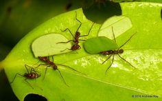 Leafcutter Ants, (Atta sp.), by Ecuador Megadiverso on Flickr (cc)