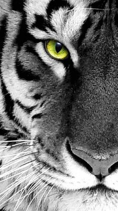 #Animals #Tiger