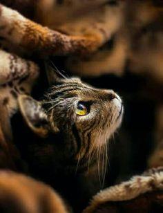 Tabby Cats Brown Ravenwhimsy's Wonderful World - Pretty Cats, Beautiful Cats, Animals Beautiful, Cute Animals, Pretty Kitty, Cute Kittens, Cats And Kittens, Fluffy Kittens, Tabby Cats