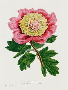"""1845 Louis Van Houtte Botanical Print """"Peony, (Paeonia albifl)"""
