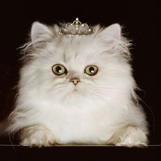 Are you a #painting enthusiast? Fulfill your hobby by placing the beautiful #wallarts available at our site on your #housewalls. This one shows the cuteness of princess kitten depicting the beauty of its gorgeous white fur running throughout its body.