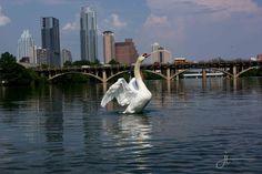 Swan in Town Lake, Austin Texas