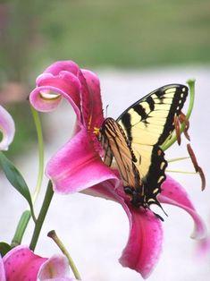 Tiger swallowtail on a stargazer lily