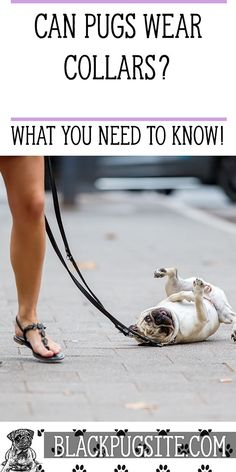 Best collars for Pugs: Find out which collars are best for these dogs before you take them for a walk. Black Pug Puppies, English Bulldog Puppies, Lab Puppies, Terrier Puppies, English Bulldogs, French Bulldogs, Boston Terrier, Pug Health Problems, Grumble Of Pugs