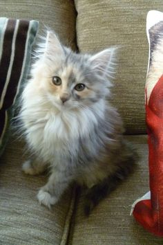 Norwegian grey norwegian forest kittens breed. Norwegian Forest cat is a breed of domestic cat originating in Northern Europe. This natural breed is adapted to a very cold climate, with top coat of glossy, long, water-shedding hairs and a woolly undercoat for insulation. #Norwegian #Forest #Cat