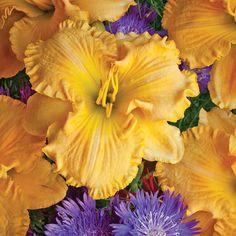 Collier Hemerocallis | Roots & Rhizomes