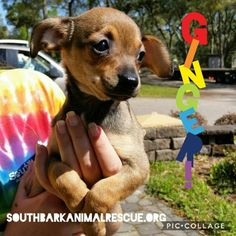 Meet Ginger, an adoptable Chihuahua looking for a forever home. If you're looking for a new pet to adopt or want information on how to get involved with adoptable pets, Petfinder.com is a great resource.
