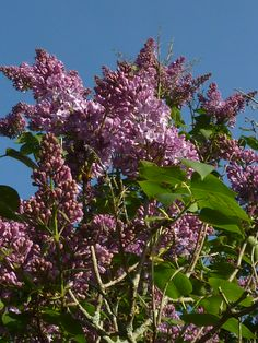 Huge and ancient Lilacs are near the Apple trees.