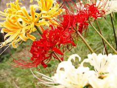 Lycoris Radiata (Bỉ Ngạn Hoa)