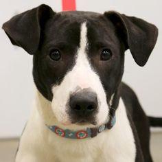 Hi, I'm Angelo! I'm a 10 month old neutered male black with white Beagle / Labrador Retriever Mix.