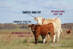 Breeds Cows - Yahoo Image Search Results