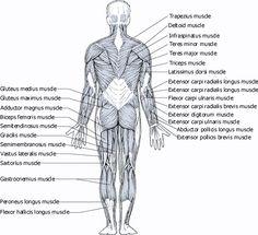 Medical Transcription: Back Muscles