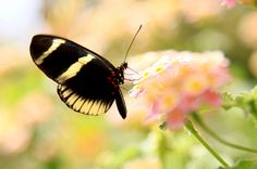 butterfly black and yellow