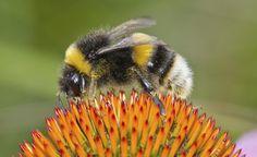 Nützliche Insekten in den Garten locken -  Vielen Menschen schaudert es bei dem Gedanken an fliegendes und krabbelndes Geziefer. Dabei sind viele kleine Tiere nützliche Gartenhelfer: Sie gehen auf Blattlausjagd oder bestäuben Obstbäume und Beerensträucher.