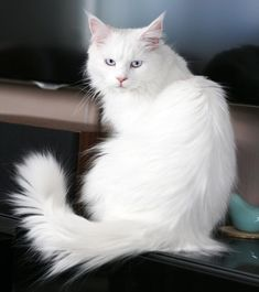 #whitecats #cutecats #beautifulcats #meow #catlover #catlovers #cute #catoftheday #kitten #world #cutecat White Persian Kittens, White Cats, Pretty Cats, Beautiful Cats, Pretty Kitty, Maine Coon Kittens, Cats And Kittens, Best Natural Deodorant, Cat With Blue Eyes