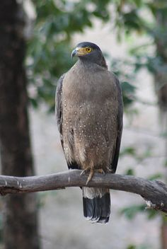 Bird of Prey  India  March 2011