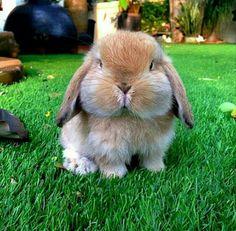 Adorable Animals: Look at this cute bunny! Funny Bunnies, Cute Bunny, Bunny Bunny, Bunny Face, Bunny Rabbits, Funny Pets, Adorable Bunnies, Lop Eared Bunny, Big Bunny