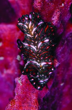 Persian carpet flatwormAnimals of impossible hues and colors, such as this flatworm, are commonplace in Lembeh.