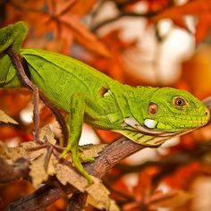 """#iguana #babyiguana #animal #iguane #green #lizard #lezard #guadeloupe #guadeloupeislands #caraibes #caribbean #ig_guadeloupe #ig_caribbean #canon500d"""